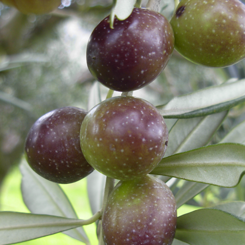 Agriturismo Castelluzzo - Olive 01