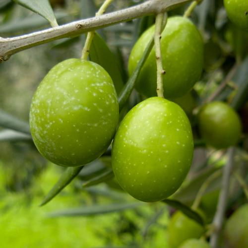 Agriturismo Castelluzzo - Olive 02