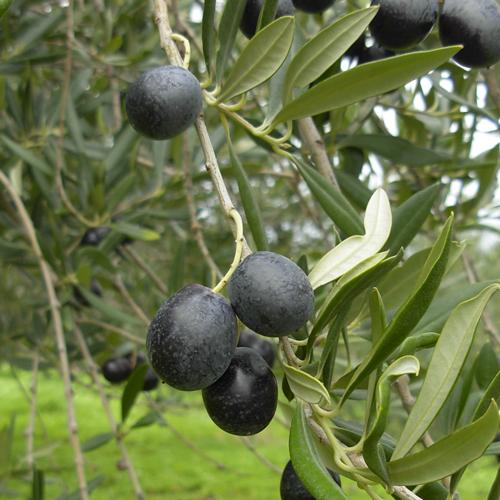 Agriturismo Castelluzzo - Olive 03