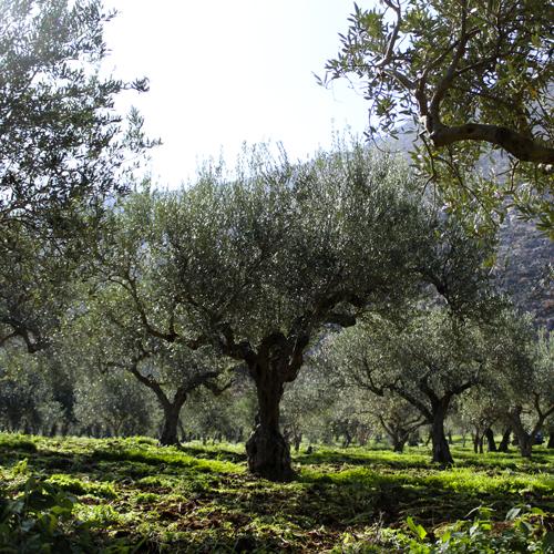 Agriturismo Castelluzzo - Olivi 02