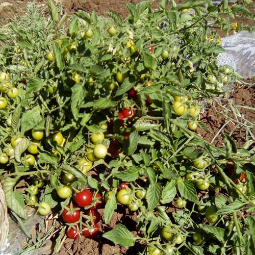 Agriturismo Castelluzzo - Pomodori
