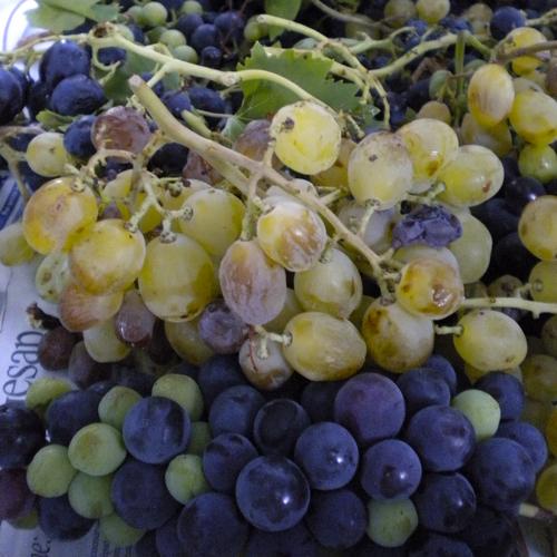 Agriturismo Castelluzzo - Uva